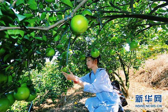 琼中绿橙将于10月26日正式上市