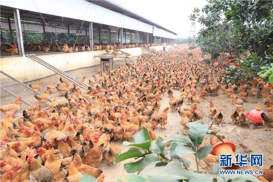 海南屯昌落根村:近2万只鸡供应