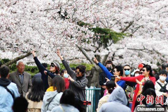 游客在青島中山公園的櫻花樹下翩翩起舞,享受美好春光。 王海濱 攝