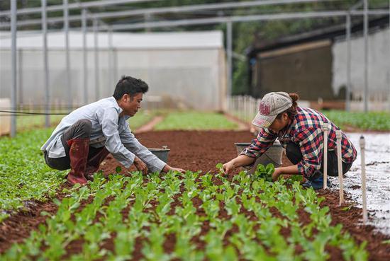 海口:蔬菜基地务农忙