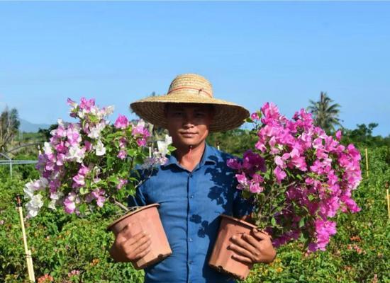5000盆姹紫嫣红三角梅绽放三更村 首批花卉2021年