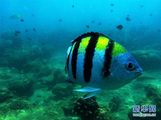 9月12日,在分界洲岛海域,一条五线雀鲷在海中游弋。 新华社记者郭程摄