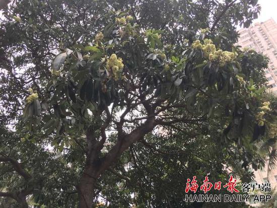 海口海达路上栽种的盆架子树↑