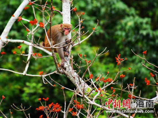 野生猕猴帮在亚龙湾暖和带天堂丛林旅游区的斑斓梧桐花欣赐予景点寻食(黄庆优摄)