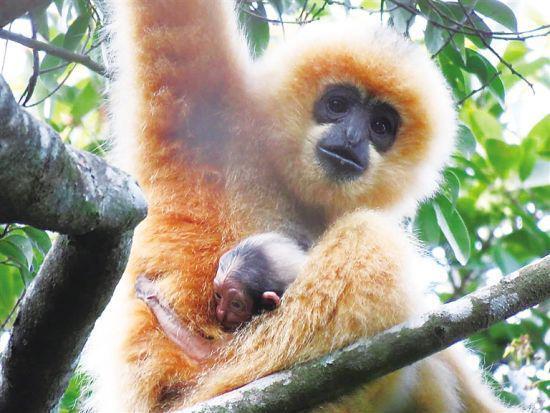海南长臂猿E群的母猿和幼崽。海南热带雨林国家公园管理局供图