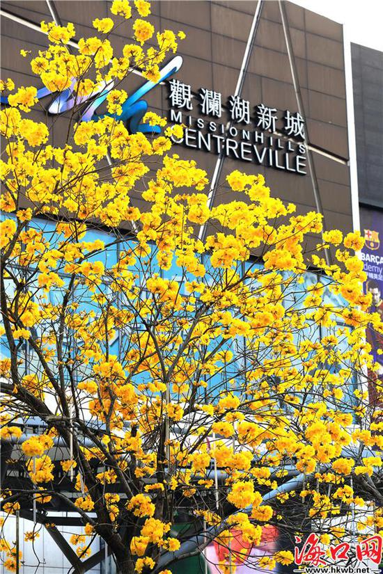 黃花風鈴木花朵盛情綻放,美不勝收。吳印 攝
