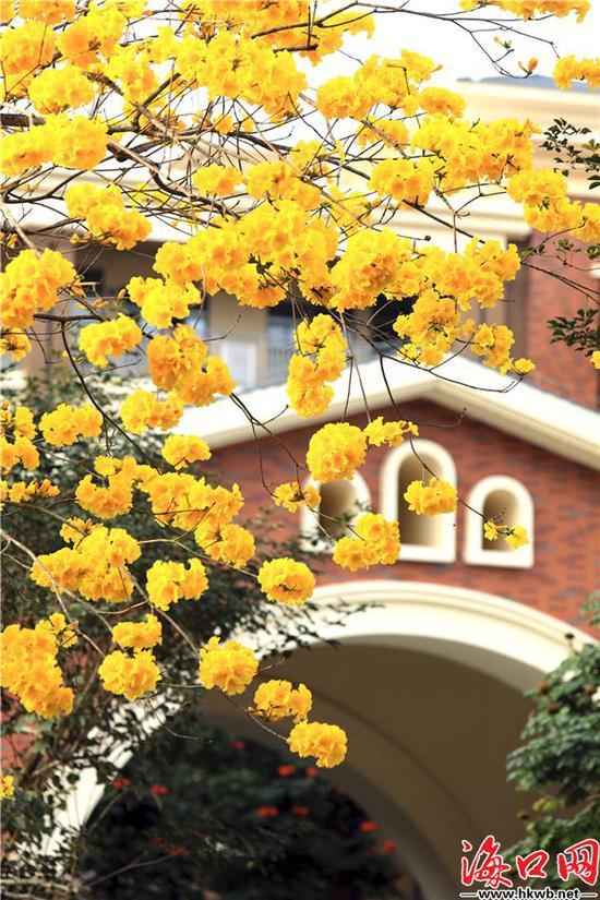 黄花风铃木,黄得耀眼,美得夺目。吴印 摄
