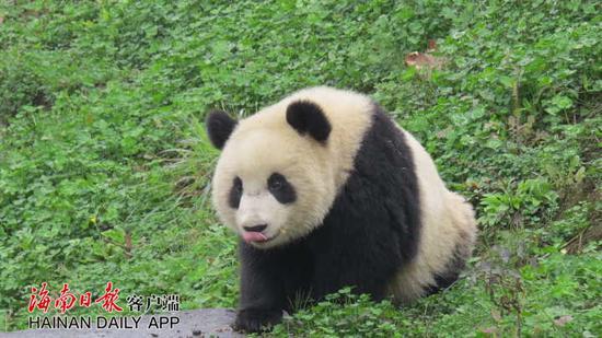 """↑熊猫哥哥""""贡贡""""。中国大熊猫保护研究中心雅安基地供图"""