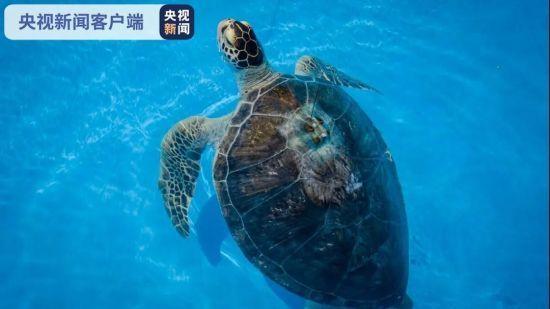 11只国家一级保护动物海龟在陵水海域被放生
