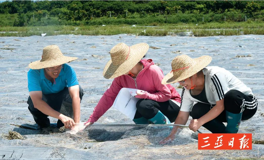 200多户农户将直接受益!崖州区凤岭村980亩田地实施土壤改造