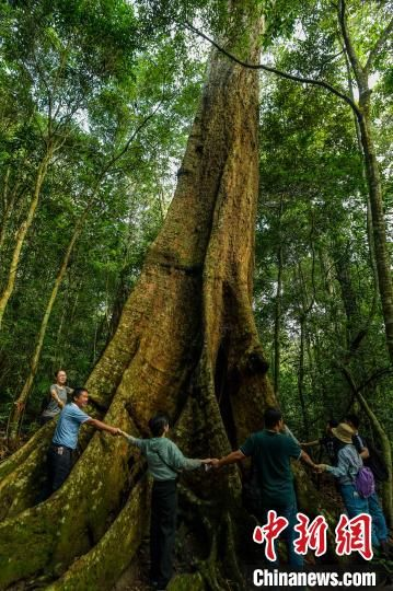 海南尖峰岭热带雨林中一棵千年盘壳栎,需十余人才能围抱。骆云飞 摄