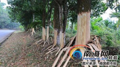 资料图:好端端的大树被恶意剥皮。胡诚勇 摄