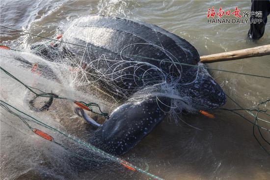 被渔网网住的巨型海龟。通讯员孙诺 摄