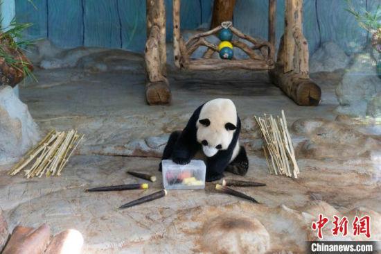 """海南连续多日发布高温预警 大熊猫享受""""冰镇套餐"""""""