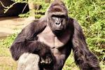 4岁幼儿跌入猩猩池 动物园忍痛枪杀珍贵大猩猩