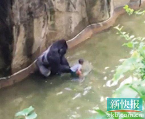 监控视频拍下的大猩猩与幼儿共处一池的惊险画面。