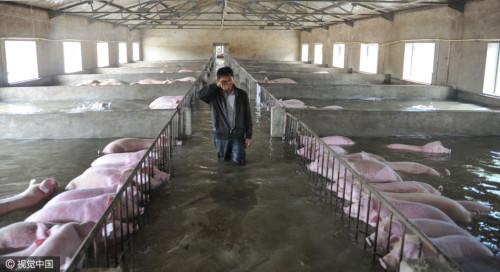 6000头猪遇洪灾无法转移 主人挥泪诀别(图)