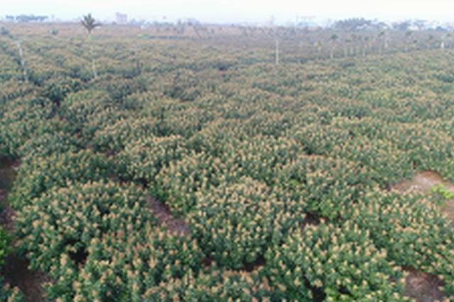 海口琼山区三门坡荔枝花盛开 产值预计达5亿元