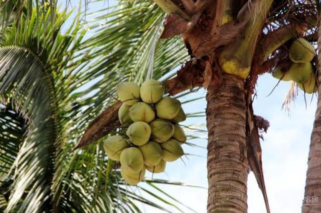 供给短缺却鲜见规模种植 海南椰子产业如何破局?