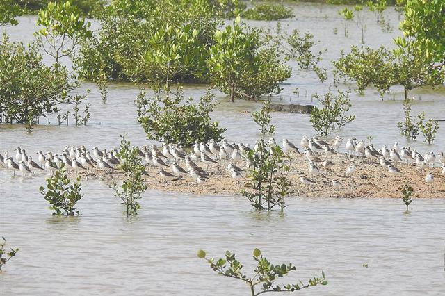 新盈红树林国家湿地公园迎候鸟南归