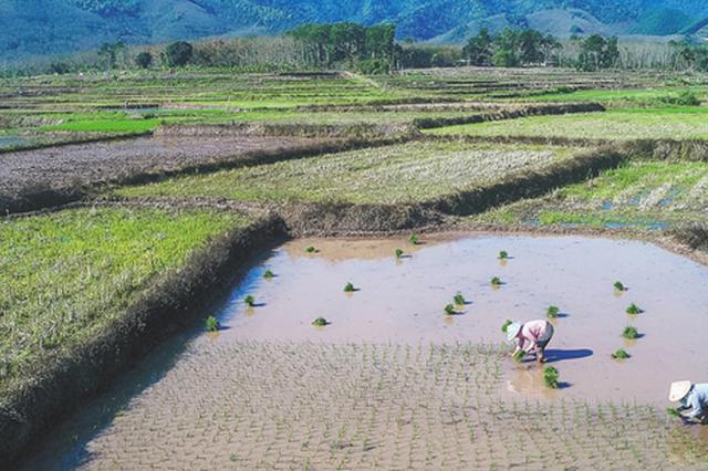 """海南粮食生产走上新""""稻路"""" 琼岛稻香飘更远"""