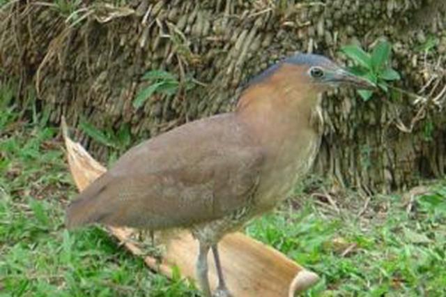 """东方""""怪""""鸟撞墙被救起 系国家二级保护动物黑冠鳽"""