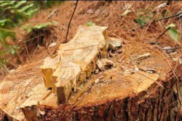 用钻孔灌药、剥树皮等方法致林木枯死 男子砍伐天然林被刑拘