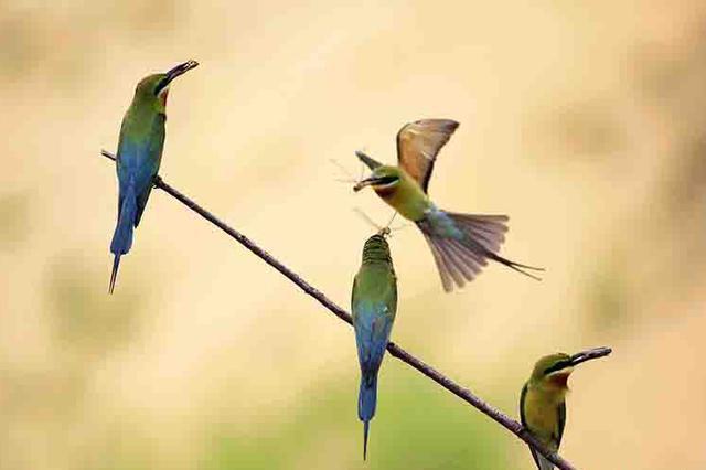 组图 海口:生态修复和保护得力 蜂虎鸟繁殖增多