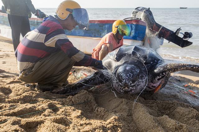 濒危物种棱皮龟误撞入网 海南渔民齐心将其放生入海