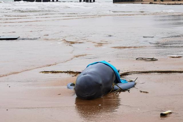 海口西海岸一江豚搁浅 多部门联合救助