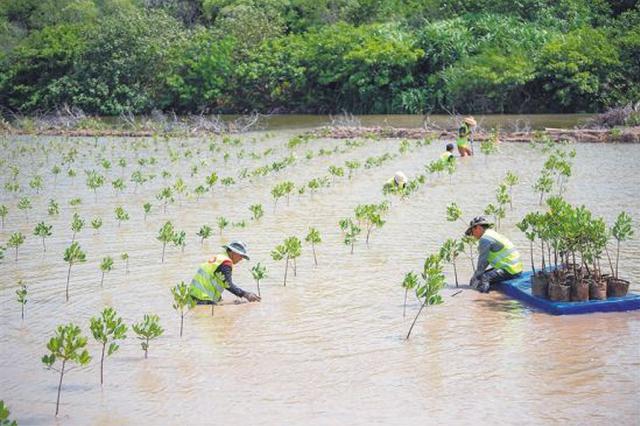 江东新区首个生态修复项目:东寨港新增红树1400亩