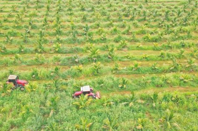 昌江白沙村:椰子园间种增效益 高效促增收