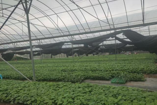 三亚今年计划种菜17万亩 总产量有望突破47万吨