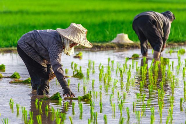 海南耐盐碱稻今年攻关亩产600公斤