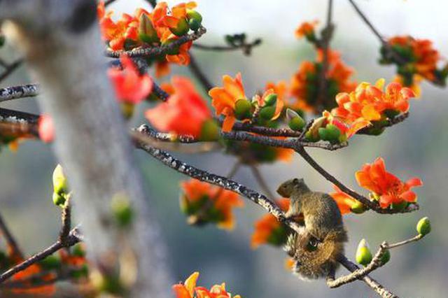 三亚南山:面朝大海 尽享木棉花的春天