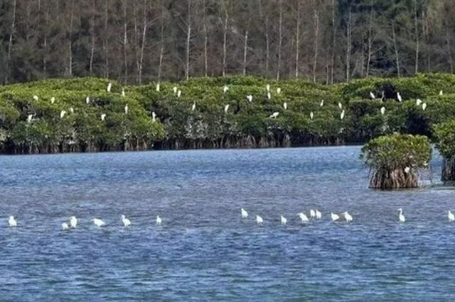 儋州新盈红树林国家湿地公园退塘还湿 种满红树苗