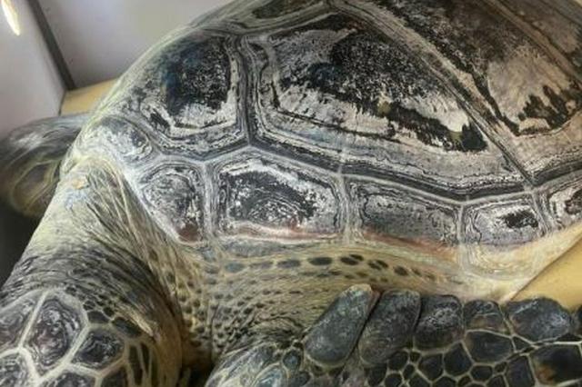 """六只大海龟""""特殊旅客""""飞往三亚进行放生"""