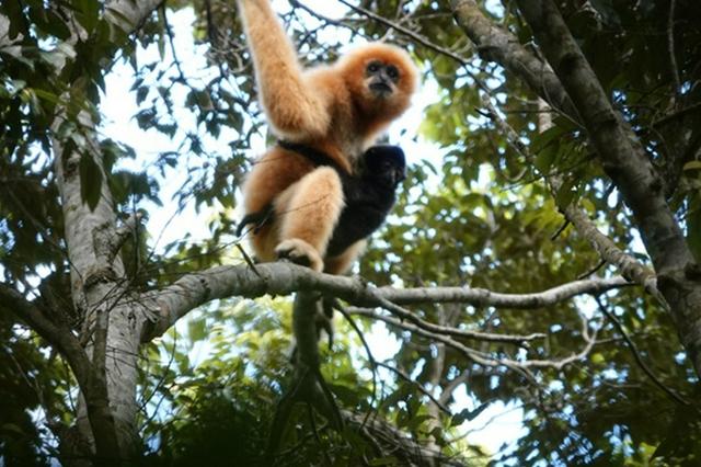 """海南长臂猿案例展示生物多样性保护""""中国智慧"""""""