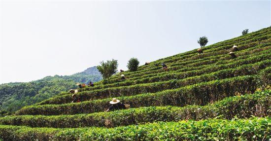 在五指山市水满乡椰仙茶园,村民们正在举行采摘茶叶比赛。武威 摄