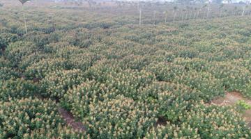 海口三门坡荔枝花盛开 产值预计达5亿