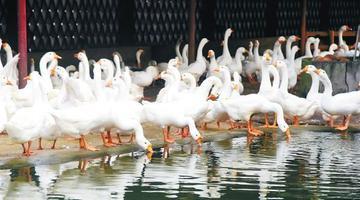 合作社年产300万只白莲鹅