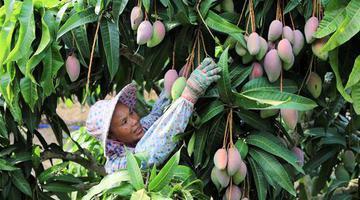 三亚:依附自然优势 做大芒果产业