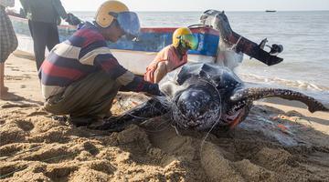 濒危物种棱皮龟误撞入网 渔民齐心放生