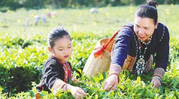 白沙:有机茶叶吐芬芳