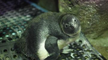三亚:人工孵化企鹅宝宝与市民游客见面