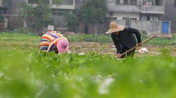海南澄迈:冬季瓜菜种植忙