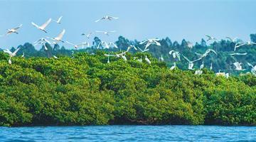 海南临高:生态修复 白鹭飞舞