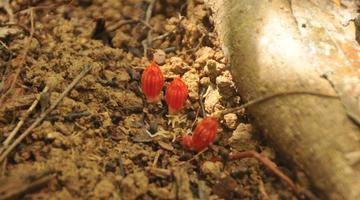 海南尖峰岭发现新的特有植物