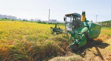 海南三亚:夏至收割忙