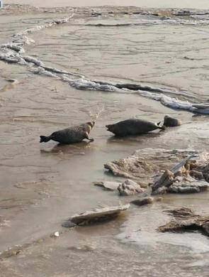 大连长兴100只斑海豹幼崽遭盗猎